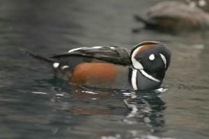 Арлекин, патица, мъжки, птица, histrionicus histrionicus