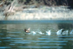 Harlekin, Ente, Wasser, Oberfläche