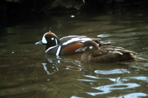 pair, harlequin, drakes, water, histrionicus, histrionicus