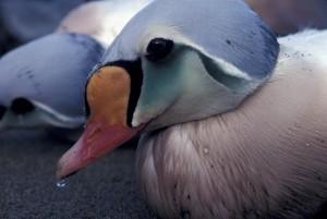 re, Eider, uccello, maschio