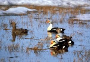 king, eiders, birds, lake, somateria, spectabilis
