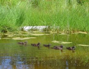 laysan, ducklings, swim, anas laysanenesis