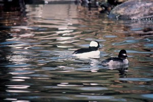 mâle, femelle, garrots, la sauvagine, les oiseaux, l'eau, bucephala, albeola