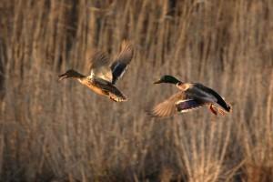 mâle, femelle, colvert, canards, vol