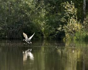 Mallard птица, заминаващи, езеро, Димо platyrhynchos