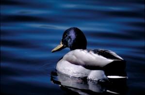 mallard, bird, male, breeding, plumage, details, image, anas platyrhynchos