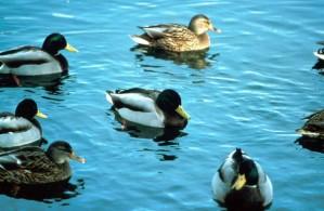 colvert, oiseaux, troupeau, eau