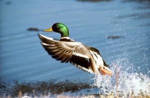 зеленоглава патица, Дрейк, птица, вода, Димо platyrhynchos
