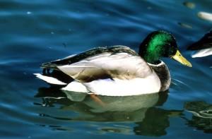 зеленоглава патица, Дрейк, водолюбиви птици, птица, мъжки, развъждане, перушина, anas platyrhynchos