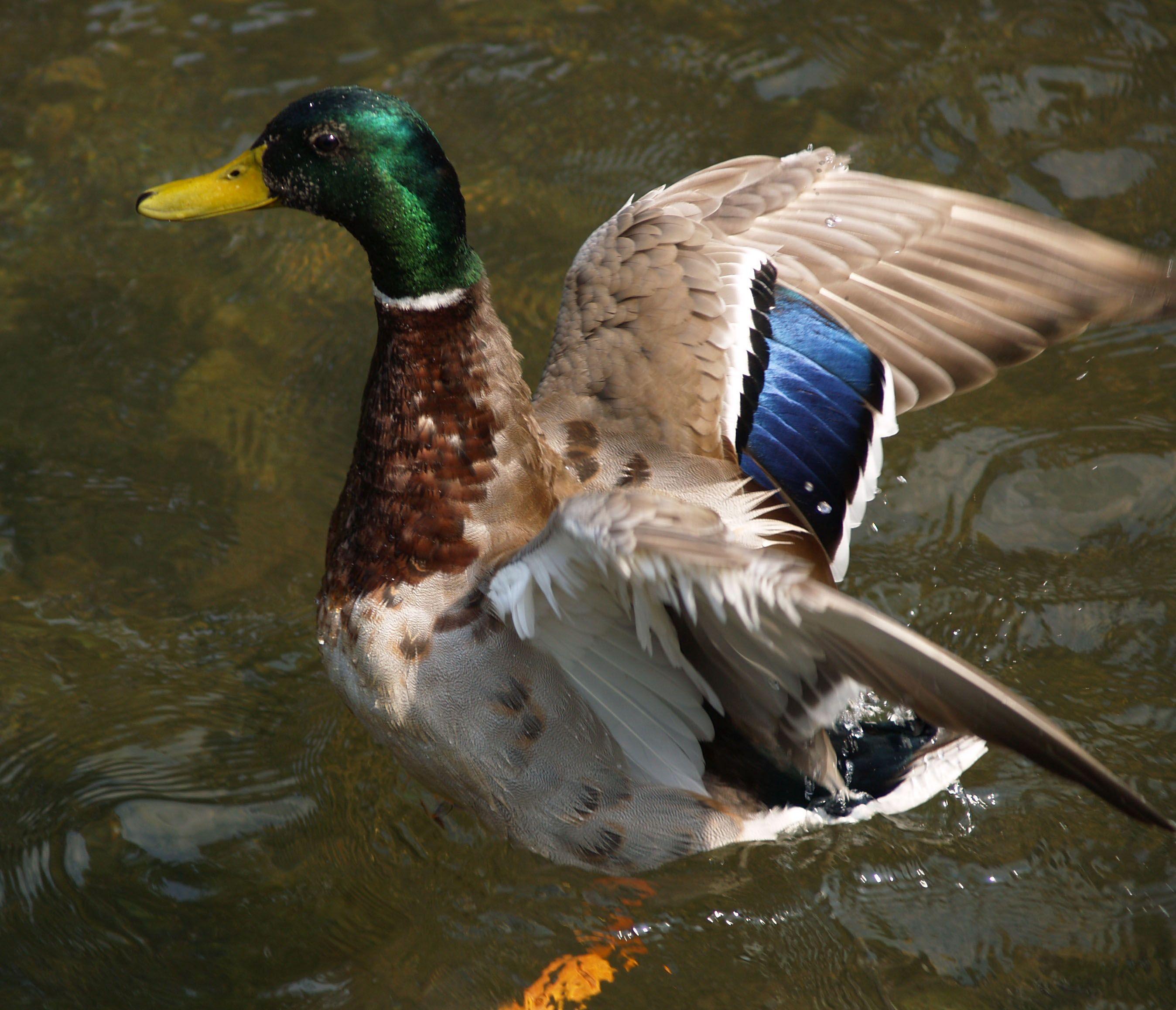 Free Picture: Mallard, Duck, Aboout, Fly
