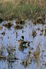 colvert, canards, des zones humides