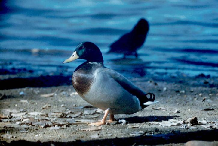 mallard, male, bird, breeding, plumage