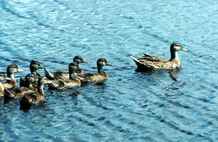 colvert, la sauvagine, les oiseaux, le lac