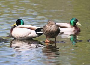 colverts, des canards, des sauvages, des canards colverts