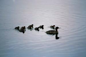 žena, potápač prostredný, kačica, generačných