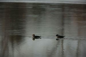 s kapucňou, potápač prostredný, kačice, lophodytes cucullatus