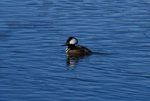 male, hooded, merganser, rests, water