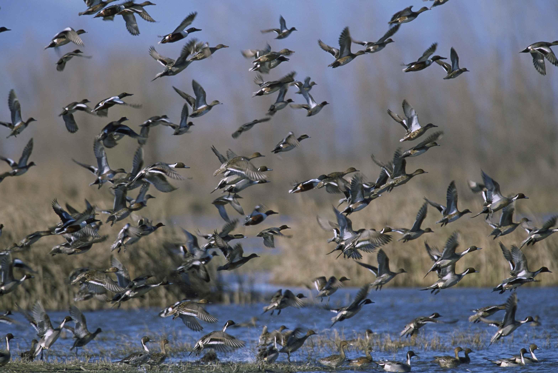 Free picture: mixed, flock, ducks, taking, wetland, anas acuta  Flock