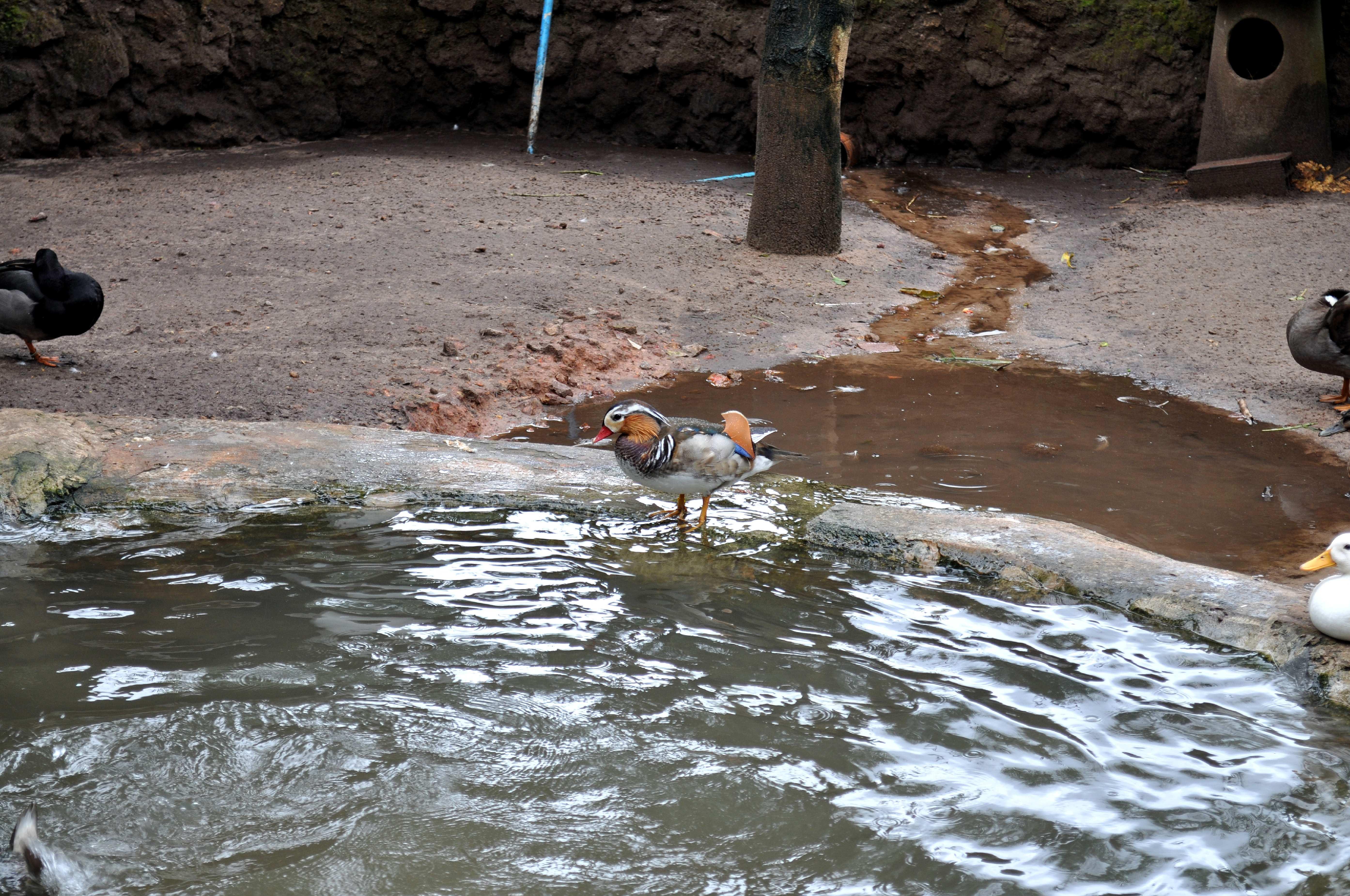 Free photograph; nice, looking, ducks, zoo, park