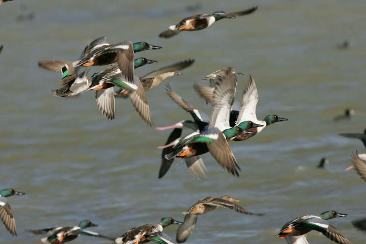 flock, northern shoveler, ducks, flying