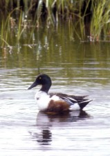 northern shoveler, drake, bird