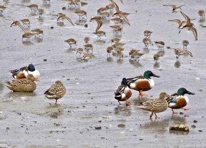 northern shovelers, ducks, beach, shorebirds