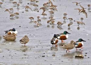 souchets du nord, les canards, la plage, les oiseaux de rivage