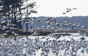 numerous, waterfowl, flight, refuge, waters
