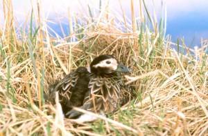 long, tailed, duck, bird, clangula, hyemalis