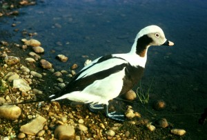 kakawi, oiseau, oiseaux aquatiques