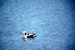 oldsquaw, duck, clangula, hyemalis