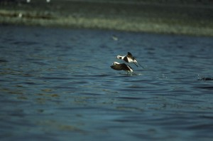 two, male, oldsquaw, ducks, long, tailed