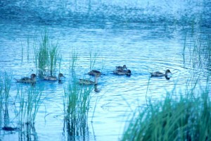 flock, pintail, duck, swimming, swamp, water, hunting, fish