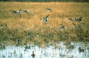 flock, pintail, ducks, anas acuta, flight, swamp, water