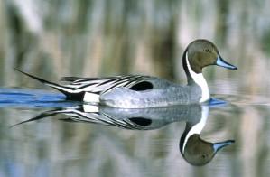 northern pintail, bird, water
