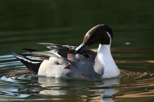 northern pintail, graceful, elegant, bird