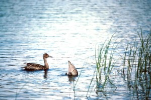 pair, pintail, duck, water, feeeding