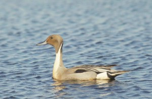 pintail, drake, waterfowl, bird, swimming, anas acuta
