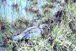 Шилоопашата патица, патица, женски, трева, anas acuta