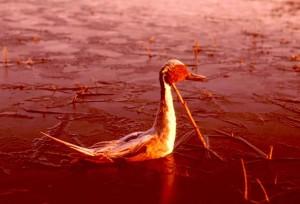 pilet, canard, mâle, lac, coucher de soleil, soleil, rayons
