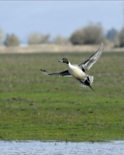 pintail, duck, male, flight