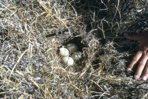 pintail, duck, nest, eggs