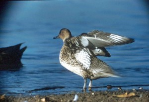 pintail, duck, stretch, wings, flight