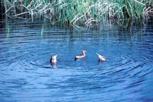Pintail ducs, água, caça, anas acuta