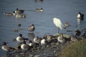 pintails, 雪, 白鹭, 鸟, 岸边