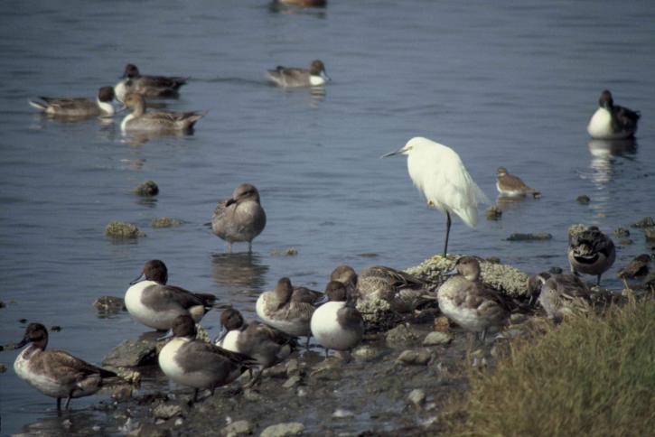 pintails, besneeuwde, zilverreigers, vogels, kust