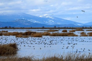 pintails, klamath, wilderness, refuge
