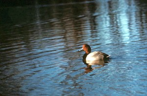 red, head, duck, male, swimming, lake