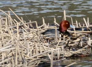κοκκινομαλλα, drake, υδρόβια πτηνά, πουλί, aythya Americana