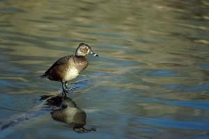 aythya collaris, ring, necked, duck, log, water